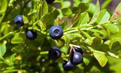 Листья черники: лечебные свойства ипротивопоказания, применение внародной медицине, рецепты отвара, настоя инастойки