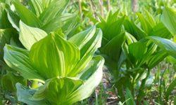 Трава кукольник оталкоголизма: как правильно заваривать иприменять, побочные эффекты