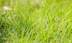 Пырей ползучий: лечебные свойства и противопоказания корня