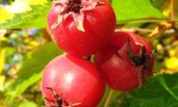 Боярышник: полезные свойства и противопоказания