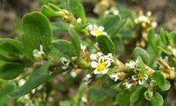 Трава спорыш: лечебные свойства и противопоказания горца птичьего