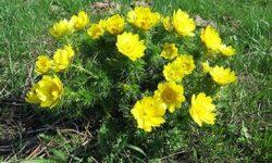 Адонис весенний: лечебные свойства и применение