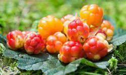 Морошка: полезные свойства и противопоказания, особенности применения и рецепты из ягод