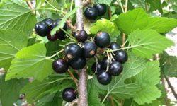 Черная смородина: полезные свойства и противопоказания, заготовка листьев, почек и ягод