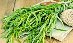 Эстрагон (тархун): полезные свойства и противопоказания. Рецепт напитка из тархуна
