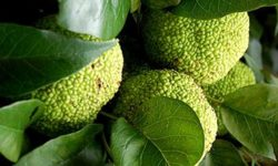 Адамово яблоко: рецепты приготовления и способы лечения, отзывы (маклюра оранжевая)