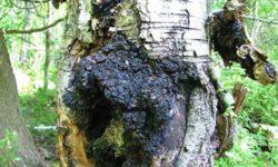 Березовый гриб чага: лечебные свойства, противопоказания и рецепты