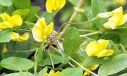 Акация желтая (карагана древовидная): описание, состав и полезные свойства