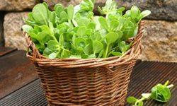 Портулак огородный: лечебные свойства, противопоказания, рецепты отвара, настоя, маски и лосьона + отзывы