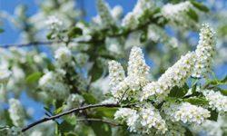 Черемуха: полезные свойства и противопоказания, опасность отравления, рецепты из коры, листьев и ягод