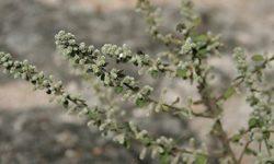 Эрва шерстистая: лечебные свойства и противопоказания травы пол-пала при камнях в почках и желчном пузыре