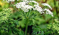 Трава болиголов: лечебные свойства и противопоказания, особенности