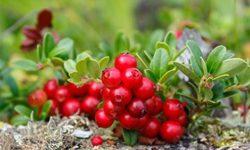 Листья брусники: лечебные свойства и противопоказания, применение отвара, настоя и чая в медицине и косметологии