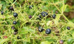 Трава марена красильная: применение ипротивопоказания, эффективность корня при камнях впочках, рецепты отвара, настоя, настойки