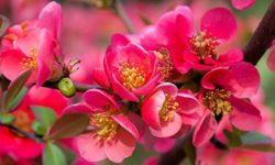 Айва японская: польза и вред, лекарственные свойства плодов, листьев, семян хеномелеса, рецепты настойки, отвара, варенья и вина (хеномелес)