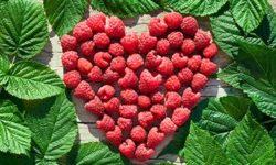 Листья малины: полезные свойства и противопоказания, применение в народной медицине