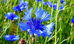 Василек синий: лечебные свойства, описание и применение