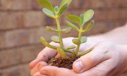 Денежное дерево: лечебные свойства и противопоказания сока и листьев толстянки