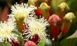 Гвоздика: полезные свойства и противопоказания, применение и рецепты