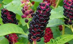 Лечебные свойства лаконоса: корней, листьев, плодов