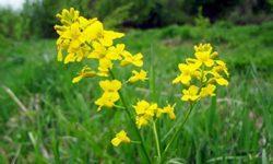 Применение сурепки обыкновенной в народной медицине: польза корней, листьев, цветков и семян