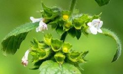 Мелисса лекарственная: полезные свойства и противопоказания, рецепты чая, отвара, настойки (лимонная мята)