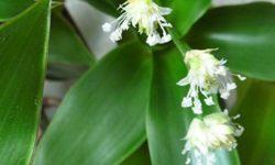 Растение золотой ус: лечебные свойства и противопоказания (каллизия душистая)