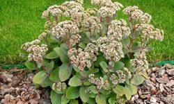Очиток едкий: лечебные свойства ядовитого растения, показания к применению и домашние рецепты (заячья капуста)