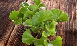 Гинкго билоба: инструкция поприменению листьев, отвара испиртовой настойки