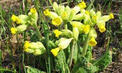 Первоцвет весенний (лекарственный): полезные свойства и противопоказания, сироп «Гербион» от кашля (примула)