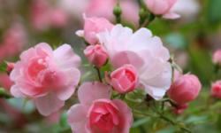 Полезные свойства розы чайной. Секреты здоровья, долголетия и красоты.